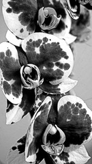 Fototapeta Kwiat storczyk