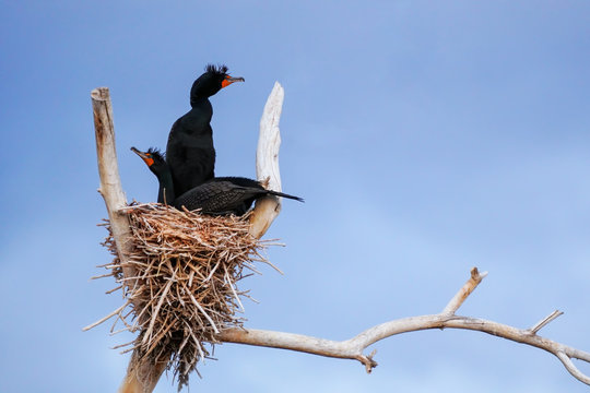Double-crested cormorants sitting on a nest
