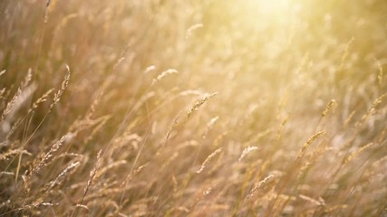 Fototapete - Flower grass in the meadow with the orange sunshine in the morning.