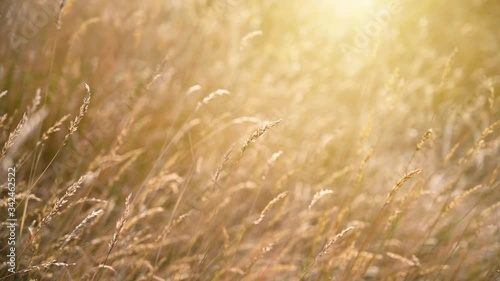 Wall mural Flower grass in the meadow with the orange sunshine in the morning.