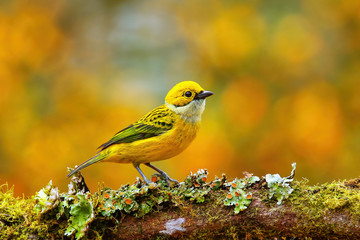 Foto op Canvas Vogel Silver-throated tanager (Tangara icterocephala) sitting on a branch
