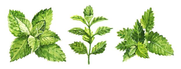 Fototapeta Watercolor hand painted mint plant illustration isolated on white background obraz