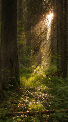 Light in forest trees in Apuseni Mountains Romania