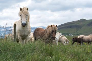 White Beautiful Icelandic Horse