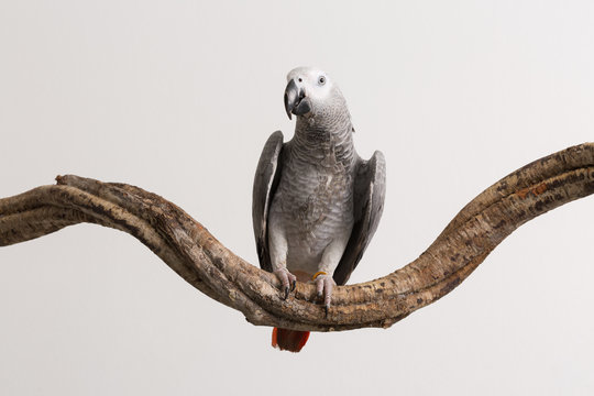 African Grey Parrot Perching On Wood Against White Background