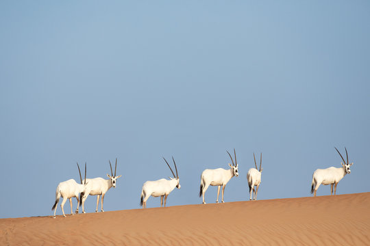 A group of six endangered Arabian oryx in its natural desert environment during day time.