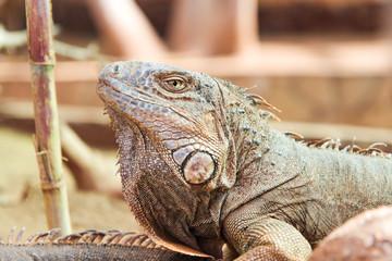 Aluminium Prints Chameleon Iguana
