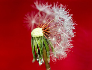 Wet dandelion seed head against red background
