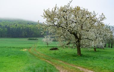 Fotoväggar - apple tree in bloom