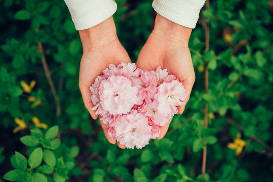 Cropped Image Of Woman Holding Pink Flowers
