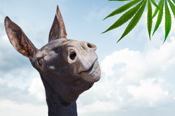 Fotobehang Ezel Stupid black donkey looking at cannabis plant on blue sky background