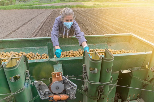 Female worker harvesting potatoes  behind the tractor and wearing protections against coronavirus