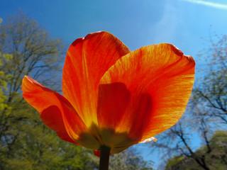 Obraz czerwony tulipan pod światło - fototapety do salonu
