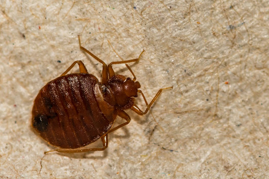 A close up of a Common Bed Bug (Cimex lectularius)