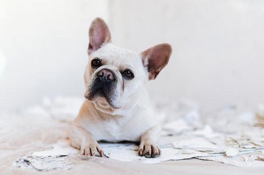 French bulldog is helping renovating at home