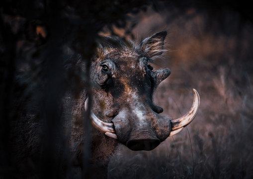 Warthog portrait