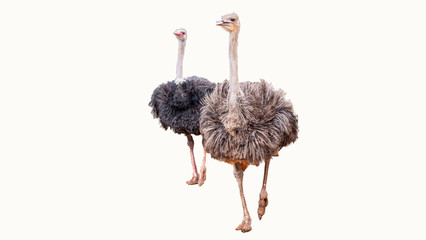 Clipping path of ostrich