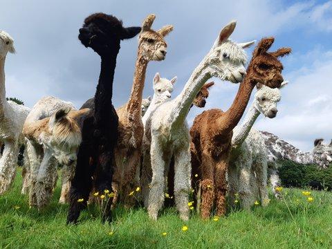 Alpacas Standing On Field Against Sky