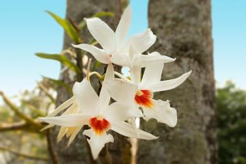ORCHIDEA BIANCA TAILANDIA