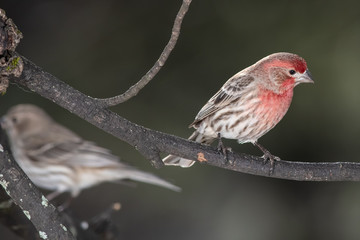 Wall Mural - Pair of House Finch Perched in a Tree