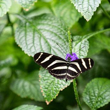 Zebra Longwing butterfly opened wings on plant