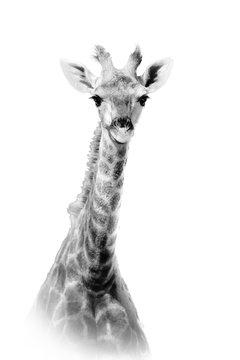 Giraffe Against White Background