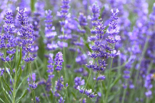 Provence - lavender field