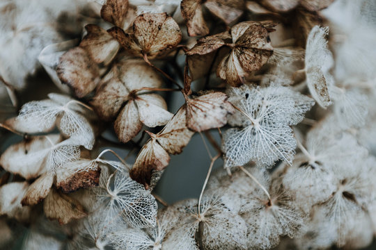 Dried hortensia flowers. Winter is coming.