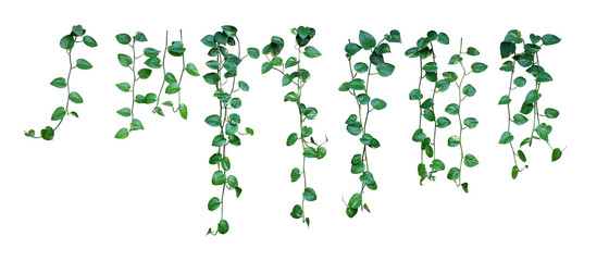 Wall Mural - Set of hanging vine plant with heart-shaped variegated leaves of devil's ivy or golden pothos (Epipremnum aureum) the popular tropic houseplant for being indoor nature's air purifier isolated on white
