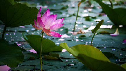 Tuinposter Waterlelies Pink Lotus Water Lilies Blooming In Pond