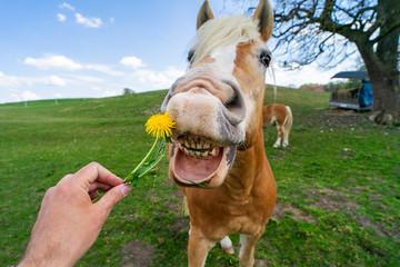 Lustiges Bild: Pferd frisst eine gelbe Pustblume aus der Hand eines Mannes mit geöffnetem Mund