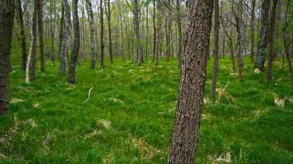 Fototapeta trees in the forest