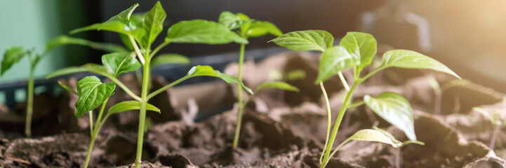 Obraz tomato seedling growth in row in dirty soil under ray of sun - fototapety do salonu