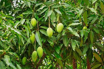 Mango Baum