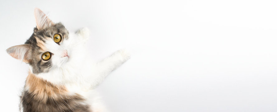 White, ginger, brown cat lying on table and looking up. Cute domestic kitten with brown eyes on white background. Pet top view image with copy space. Home pets. Animal care. Web banner stock photo.
