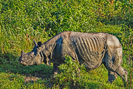 One horned Rhino in the Kaziranga wildlife reserve in Assam, India