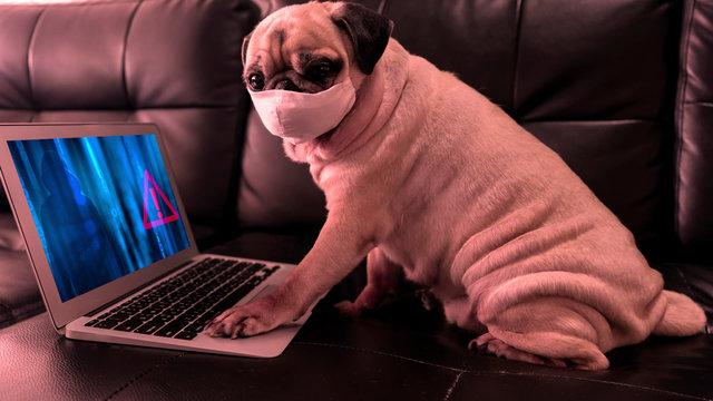 Cute pug dog wearing surgical mask using computer notebook work from home get warning alert. Unsecured Virus Detected Hack Unsafe by Hacker. Data Breach Security Confidential Data Cybercrime concept.