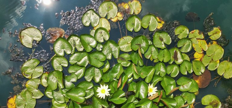 Directly Above View Of Lily Pads Floating On Water In Pond