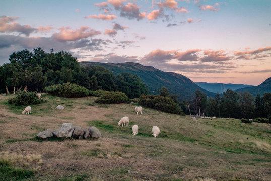 Schafherde am Rande des Dovrefjells in Norwegen