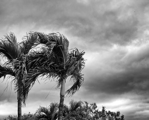 Two palm trees and tropical plants are swaying against a stormy sky in black and white.