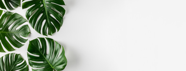 Tropical monstera leaves on white background. Summer concept.