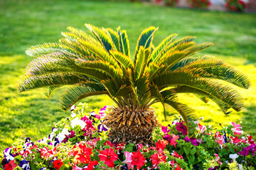 Small green palm tree surrounded with bright blooming flowers growing on grass covered lawn in tropic hotel yard. Wall mural