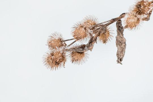Wilted Dandelion Plants During Winter