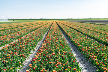 Rows of red-yellow tulips on flower fields in the Netherlands. Spring landscape with tulip fields.