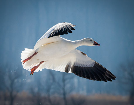 A snow goose comes in for a landing at Middle Creek Wildlife Refuge