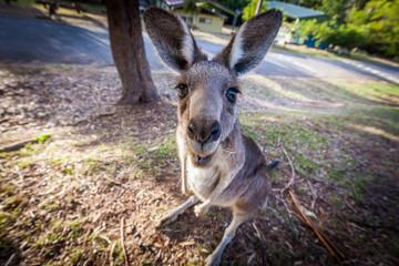 Close-up Portrait Of Kangaroo Standing On Field