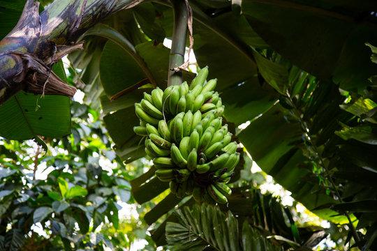 banana tree with green bananas in Nadi Fiji holiday