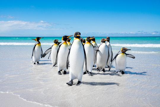 ペンギンの群れ,フォークランド諸島,ボランティアポイント,Earththeater