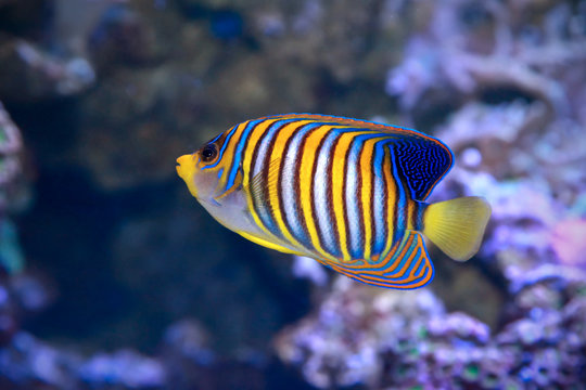 Royal angelfish Pygoplites diacanthus.