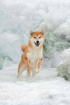 Beautiful portrait of a Shiba dog in the snow. The photo is of good quality.